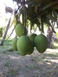 Casa Fruta Pão - Quintal - Manga