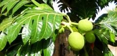 Casa Fruta Pão - Jardin - Fruit à pain